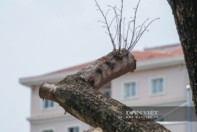 Hàng cây sưa tiền tỷ bọc sắt thoi thóp phải truyền dịch vào thân - Ảnh 5.