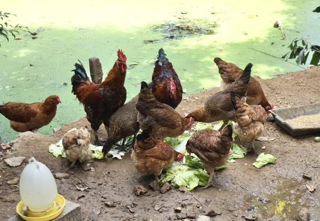 """Chi hội trưởng phụ nữ nuôi gà """"3 sạch""""  - Ảnh 1."""
