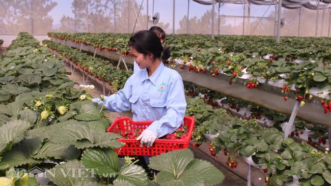 Dâu tây và hồng ăn trái Đà Lạt phải cạnh tranh gay gắt với hàng Trung Quốc - Ảnh 5.