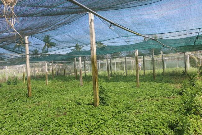 Quảng Ngãi: U60 trồng rau an toàn, thu lãi hơn 200 triệu/năm - Ảnh 2.