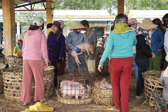 """Quảng Nam: Heo giống tăng cao, chợ """"Trư Bát Giới"""" lớn nhất miền Trung luôn tấp nập - Ảnh 5."""