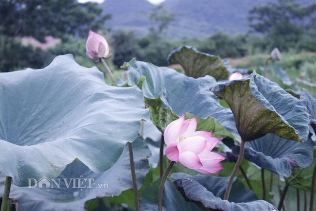 Ngất ngây ngắm ao sen nở hoa, khoe sắc ở phố núi Lai Châu - Ảnh 1.