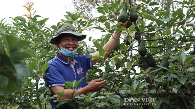 Đã mắt ngắm 200 cây bơ ghép sai trĩu trịt quả của lão nông Lâm Đồng - Ảnh 9.