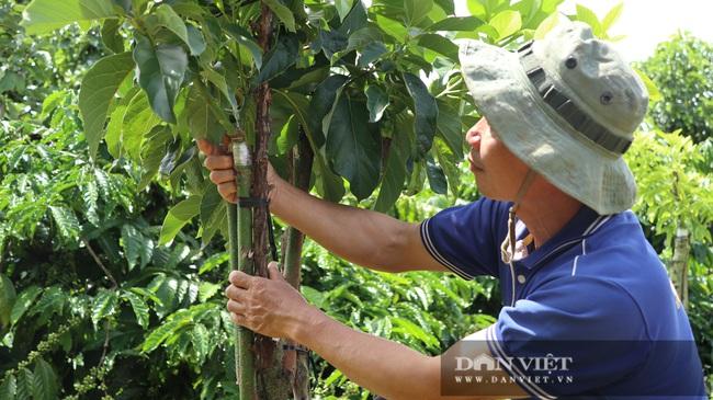 Đã mắt ngắm 200 cây bơ ghép sai trĩu trịt quả của lão nông Lâm Đồng - Ảnh 6.