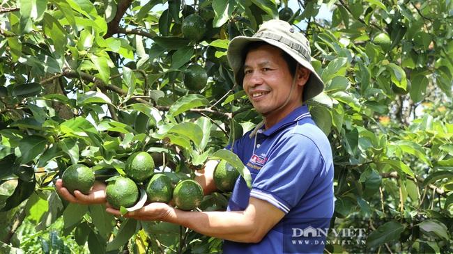 Đã mắt ngắm 200 cây bơ ghép sai trĩu trịt quả của lão nông Lâm Đồng - Ảnh 3.