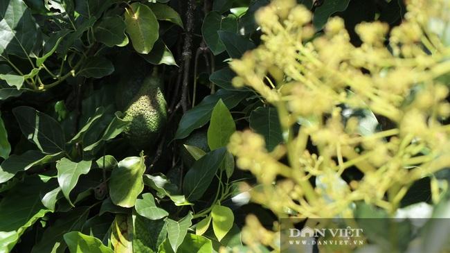Đã mắt ngắm 200 cây bơ ghép sai trĩu trịt quả của lão nông Lâm Đồng - Ảnh 8.