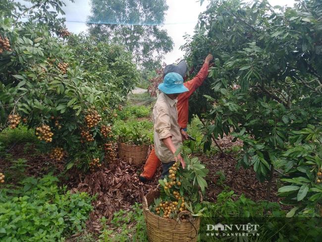 Nhãn và thanh long giá bằng bó rau muống… nông dân suy sụp - Ảnh 1.