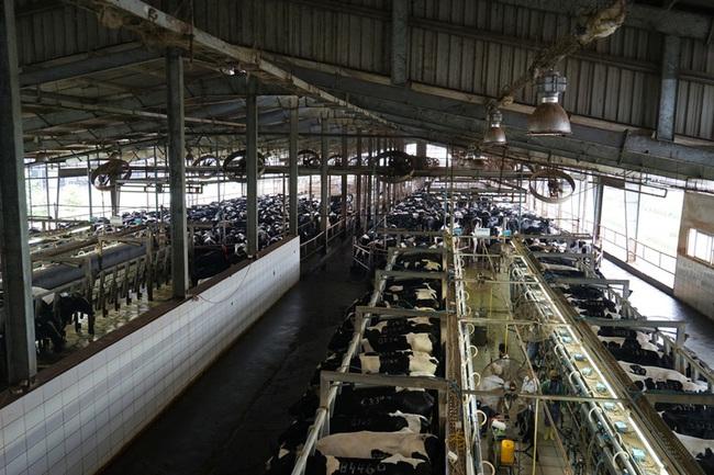 Quảng Ninh: Đẩy nhanh tiến độ khu nông nghiệp công nghệ cao chăn nuôi bò sữa tại Đầm Hà  - Ảnh 1.