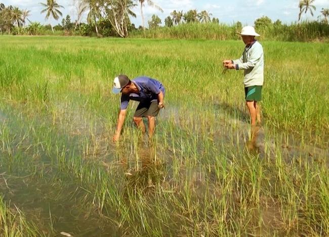 """Cà Mau: Hàng trăm ha lúa bị thiệt hại do nhiễm phèn - mặn, dân """"khóc ròng"""" - Ảnh 1."""