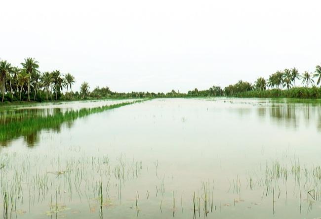 """Cà Mau: Hàng trăm ha lúa bị thiệt hại do nhiễm phèn - mặn, dân """"khóc ròng"""" - Ảnh 2."""