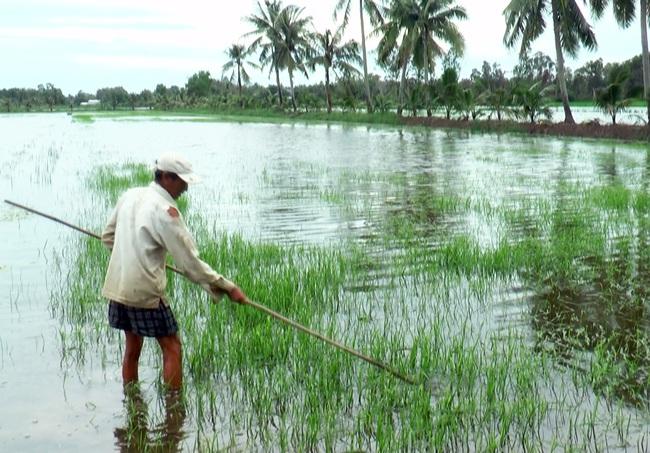 """Cà Mau: Hàng trăm ha lúa bị thiệt hại do nhiễm phèn - mặn, dân """"khóc ròng"""" - Ảnh 3."""