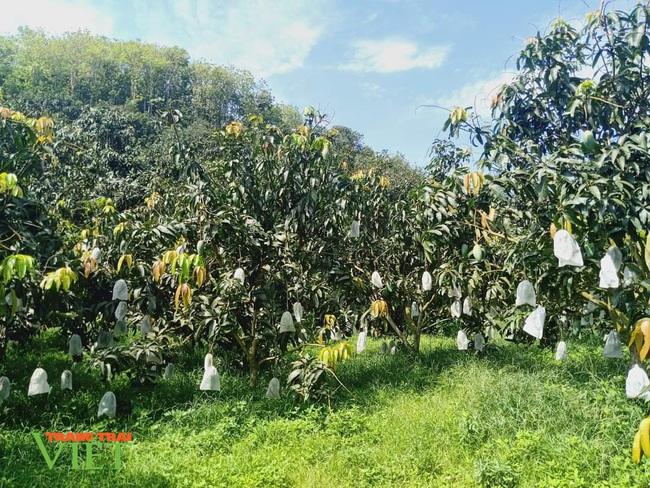 Sơn La: Đất dốc xanh màu cây ăn quả - Ảnh 4.