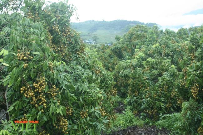 Sơn La: Đất dốc xanh màu cây ăn quả - Ảnh 2.