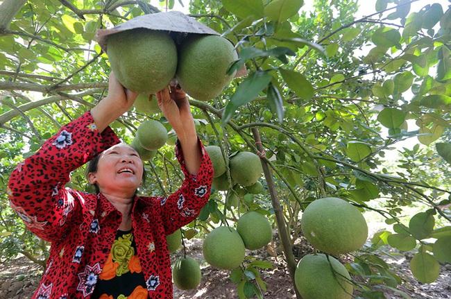"""Nông dân Hưng Yên thu """"trái ngọt"""" sau 10 năm - Ảnh 1."""
