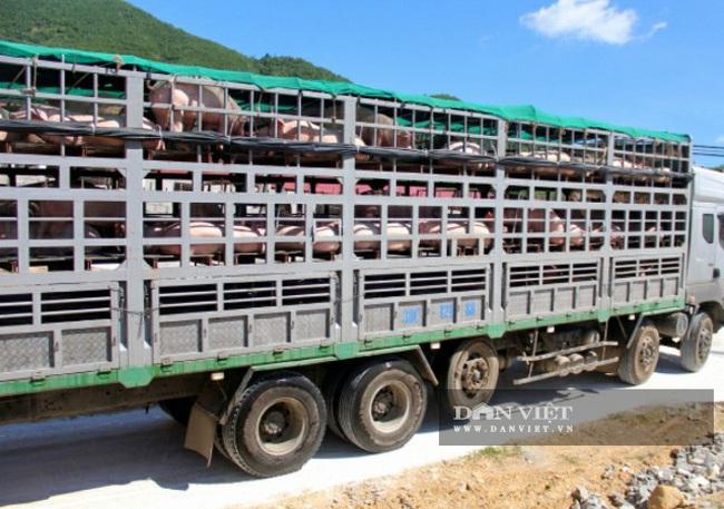 Sau dịch tả châu Phi tổng đàn lợn của Thanh Hóa đạt 1,2 con - Ảnh 2.