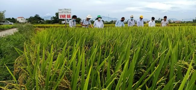 Quảng Nam: Nhiều giống lúa triển vọng của Vinaseed cho năng suất, chất lượng cao - Ảnh 1.