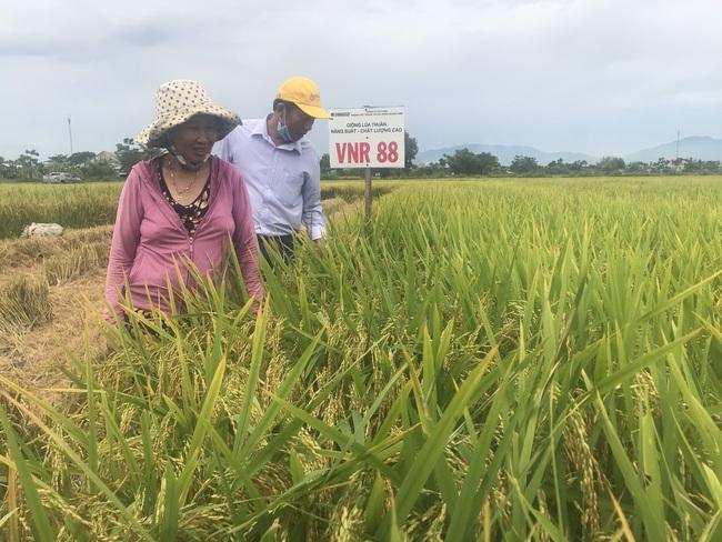 Quảng Nam: Nhiều giống lúa triển vọng của Vinaseed cho năng suất, chất lượng cao - Ảnh 2.