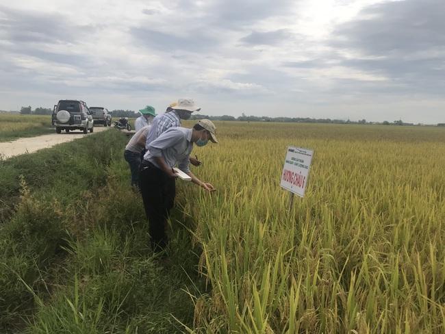 Quảng Nam: Nhiều giống lúa triển vọng của Vinaseed cho năng suất, chất lượng cao - Ảnh 3.