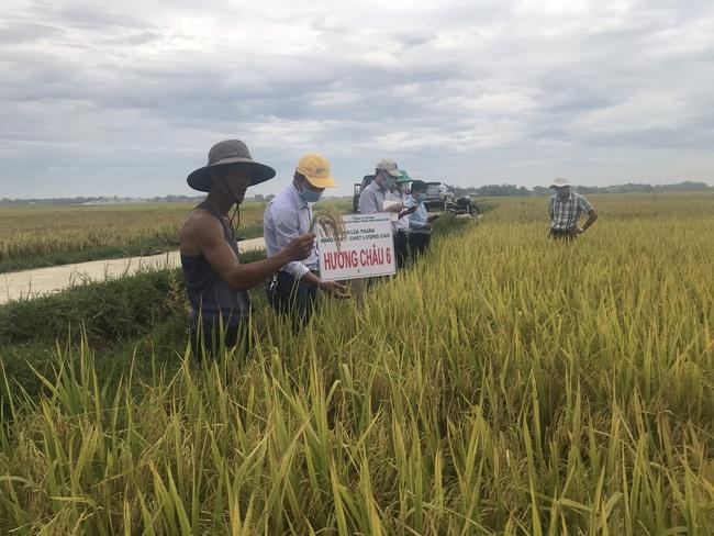 Quảng Nam: Nhiều giống lúa triển vọng của Vinaseed cho năng suất, chất lượng cao - Ảnh 6.
