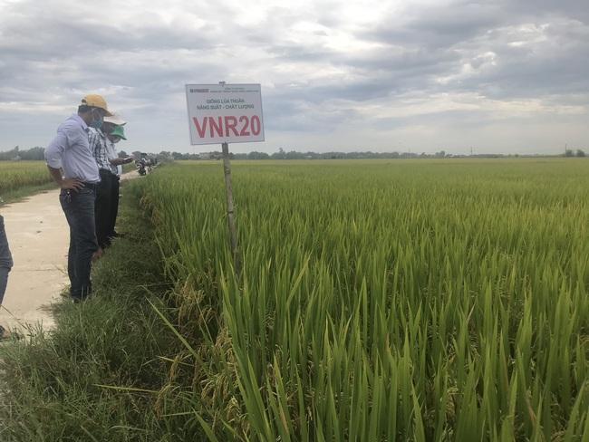 Quảng Nam: Nhiều giống lúa triển vọng của Vinaseed cho năng suất, chất lượng cao - Ảnh 5.