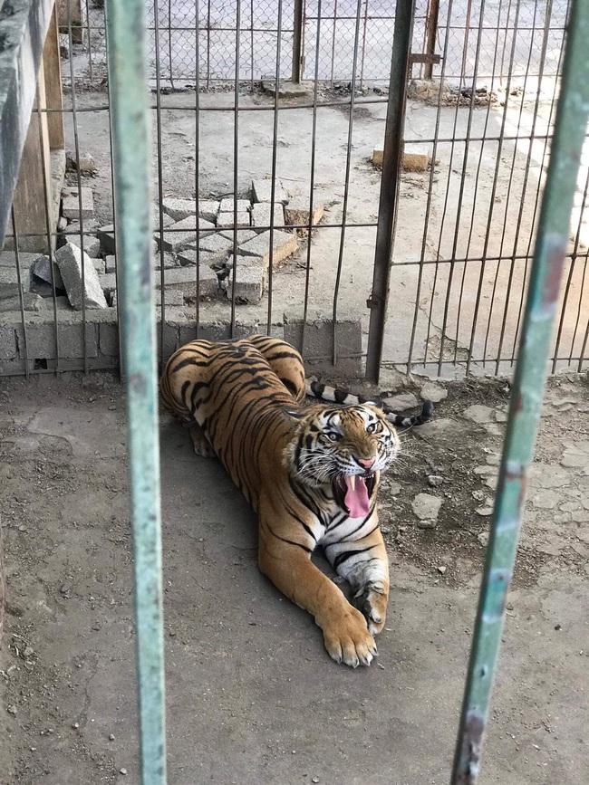 """Từ loạt bài """"Xâm nhập đường dây buôn bán hổ xuyên quốc gia"""": Tổng kiểm tra tất cả cơ sở nuôi nhốt hổ  - Ảnh 4."""