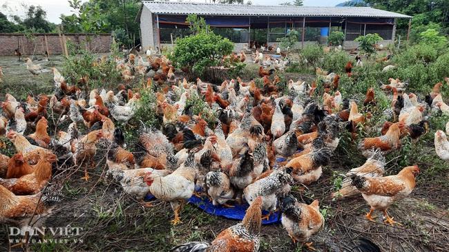 Quảng Ninh: Nuôi con lông đẹp như công, thịt ngon miễn chê, cho thu nhập khủng, mỗi năm bán hàng chục tấn vẫn thiếu hàng. - Ảnh 1.