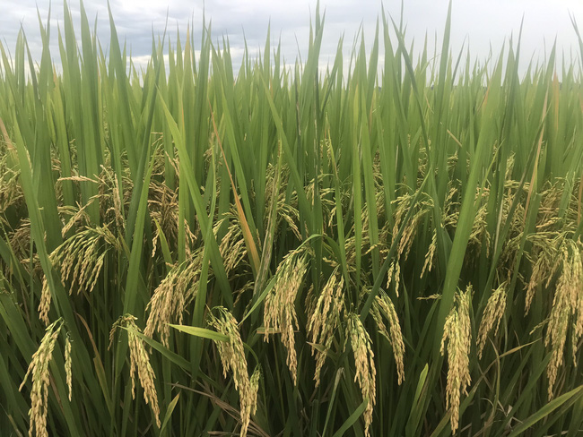 Quảng Nam: Nhiều giống lúa triển vọng của Vinaseed cho năng suất, chất lượng cao - Ảnh 4.
