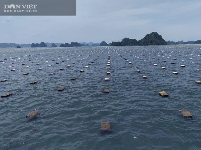 Ngao, hầu ở Vân Đồn mất giá, chủ nuôi đi câu cá để kiếm ăn - Ảnh 8.