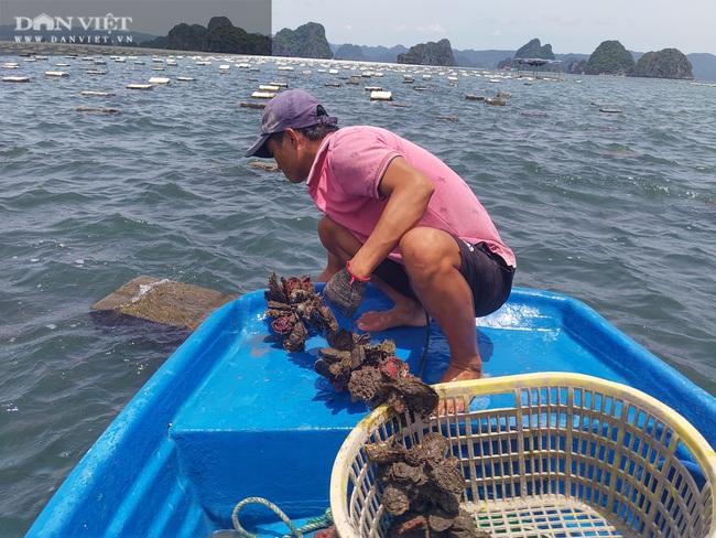 Ngao, hầu ở Vân Đồn mất giá, chủ nuôi đi câu cá để kiếm ăn - Ảnh 9.
