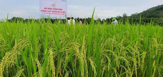 Quảng Ngãi: Nhiều giống lúa mới của ThaiBinh Seed cho năng suất, chất lượng cao nông dân phấn khởi - Ảnh 1.