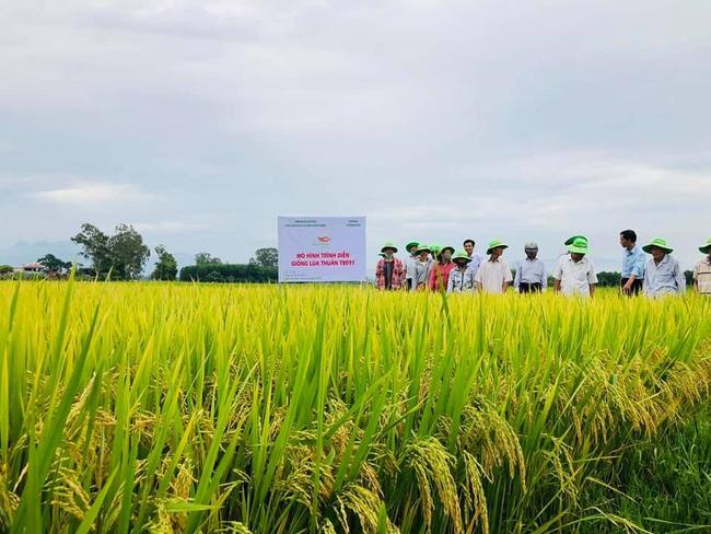 Quảng Ngãi: Nhiều giống lúa mới của ThaiBinh Seed cho năng suất, chất lượng cao nông dân phấn khởi - Ảnh 3.