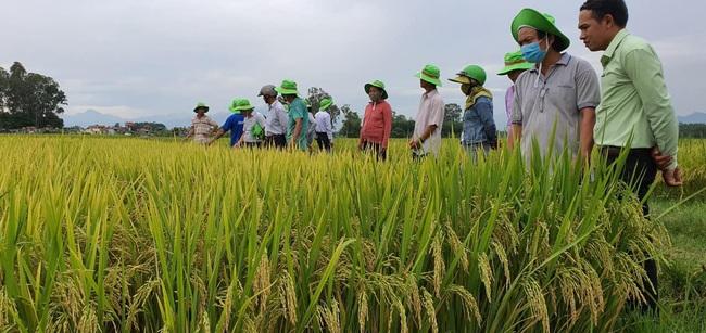 Quảng Ngãi: Nhiều giống lúa mới của ThaiBinh Seed cho năng suất, chất lượng cao nông dân phấn khởi - Ảnh 4.