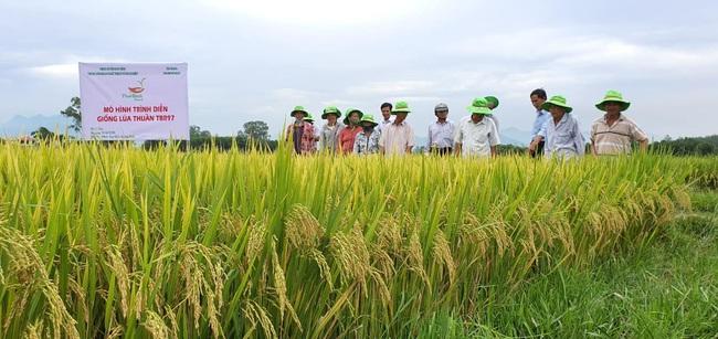 Quảng Ngãi: Nhiều giống lúa mới của ThaiBinh Seed cho năng suất, chất lượng cao nông dân phấn khởi - Ảnh 5.