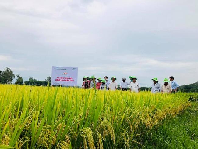 Quảng Ngãi: Nhiều giống lúa mới của ThaiBinh Seed cho năng suất, chất lượng cao nông dân phấn khởi - Ảnh 2.