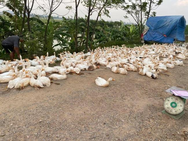 """Giá gia cầm hôm nay 7/8: Ảnh hưởng Covid-19, nông dân lên mạng xã hội kêu gọi """"giải cứu"""" gà, vịt - Ảnh 2."""