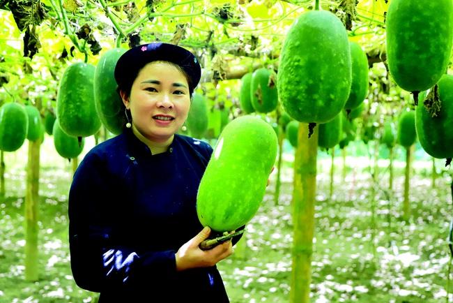 Trồng loại bí xanh thơm từ lá đến quả, thu 200 triệu đồng/ha - Ảnh 3.