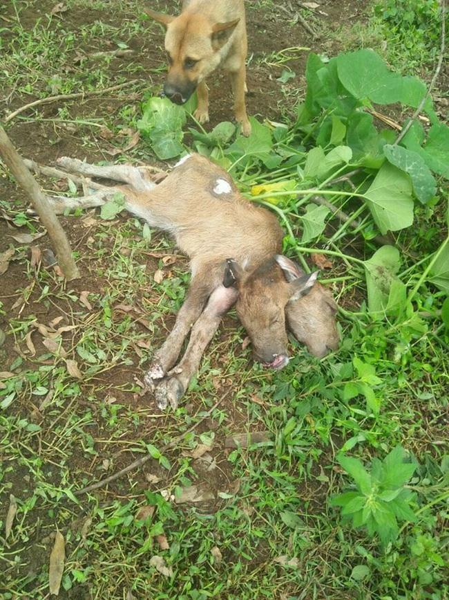 Lạng Sơn: Một con trâu đẻ ra 1 con nghé có 2 đầu, gây sửng sốt - Ảnh 1.