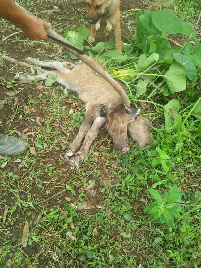 Lạng Sơn: Một con trâu đẻ ra 1 con nghé có 2 đầu, gây sửng sốt - Ảnh 2.