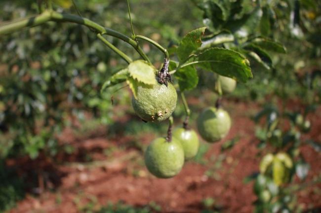 Đắk Lắk: Giá chanh dây còn 2.000 đồng, nông dân để rụng đầy gốc - Ảnh 3.