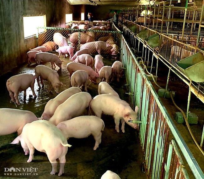 Thận trọng trong tái đàn lợn, nhiều nông dân xứ Lạng thắng lớn - Ảnh 4.
