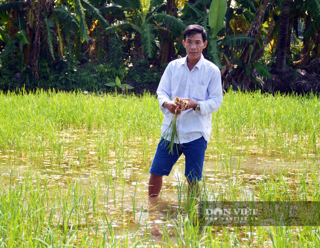 Vụ phun thuốc diệt cỏ, diệt cả... lúa ở Cà Mau: Chủ tịch tỉnh chỉ đạo xác minh làm rõ - Ảnh 3.