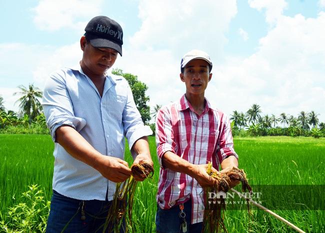 Vụ phun thuốc diệt cỏ, diệt cả... lúa ở Cà Mau: Chủ tịch tỉnh chỉ đạo xác minh làm rõ - Ảnh 1.