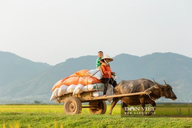 Chùm ảnh: Mùa gặt trên cánh đồng xứ Nghệ - Ảnh 7.