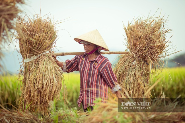 Chùm ảnh: Mùa gặt trên cánh đồng xứ Nghệ - Ảnh 4.