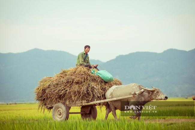 Chùm ảnh: Mùa gặt trên cánh đồng xứ Nghệ - Ảnh 9.