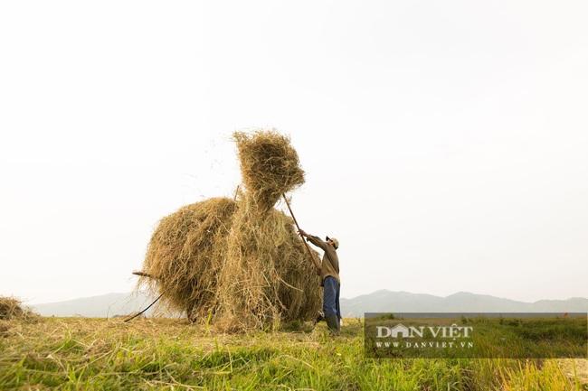 Chùm ảnh: Mùa gặt trên cánh đồng xứ Nghệ - Ảnh 10.