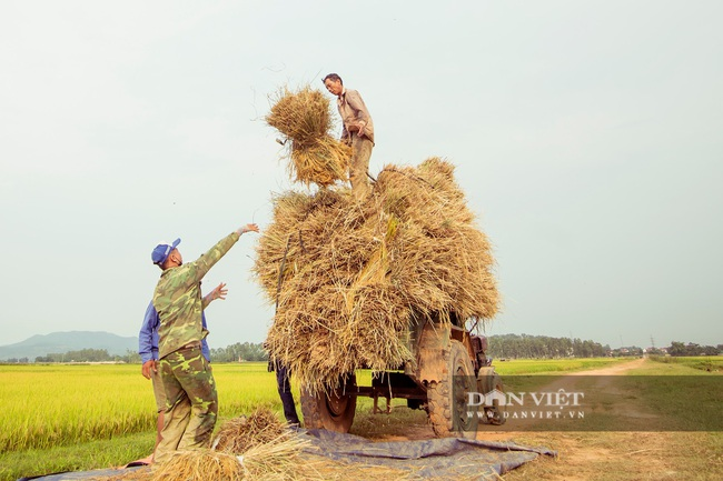 Chùm ảnh: Mùa gặt trên cánh đồng xứ Nghệ - Ảnh 8.