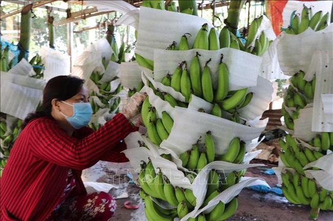 Thương lái mua chuối đưa đi khắp nơi, giá tăng 2.000-4.000 đồng/nải, dự báo còn tăng nữa - Ảnh 1.