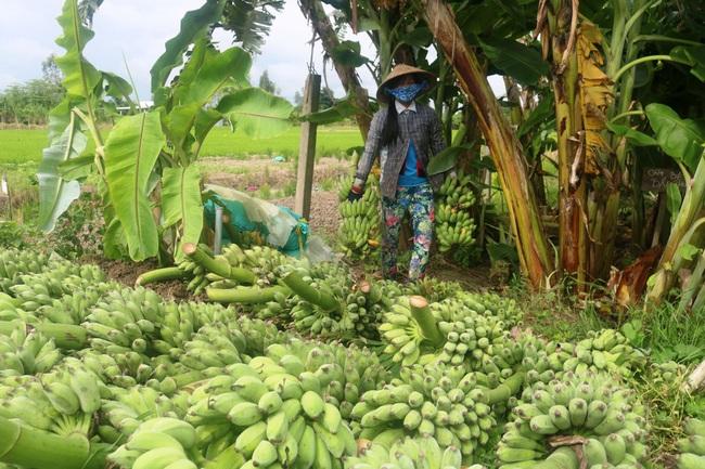 Thương lái mua chuối đưa đi khắp nơi, giá tăng 2.000-4.000 đồng/nải, dự báo còn tăng nữa - Ảnh 2.