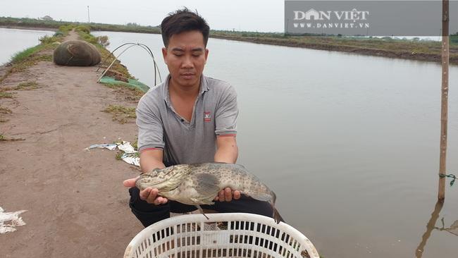 Nam Định: Ngán ngẩn cá đặc sản bán không ai mua, người chăn nuôi khóc ròng vì dịch covid -19 - Ảnh 2.